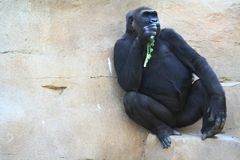 Snack Time. Gorilla lounging against a rock eating some tree leaves Stock Images
