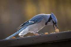 Snack time for a Blue Jay Royalty Free Stock Image