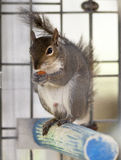 Snack Time. Bold and cheerful squirrel raiding the easy snacks in a parrot cage at the zoo stock photo