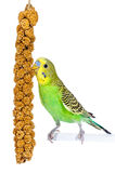 Snack Time for budgie stock image