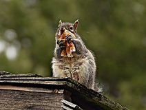 Snack time. An squirrel sitting on a roof snacking on a cup cake wrapper Royalty Free Stock Image