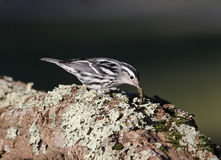 Snacking Black-and-white Warbler Royalty Free Stock Images