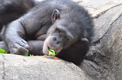 Snacking chimp Stock Image