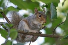 Snacking Eichhörnchen Stockfotografie