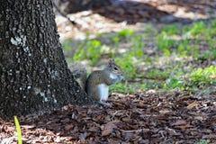 Snacking ekollon för gullig liten ekorre Royaltyfria Bilder