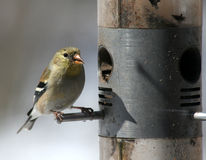 Snacking Goldfinch Royalty Free Stock Photos