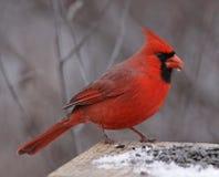Snacking nordlig kardinal Royaltyfria Foton