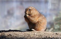 Snacking Prairie Dog. A prairie dog enjoying an afternoon snack Royalty Free Stock Photos