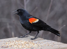 Snacking Red-winged Blackbird Stock Image