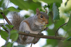 Snacking Squirrel. A gray squirrel snacking on a nut while perched on a branch Stock Photography