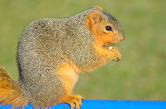 Snacking Squirrel  Royalty Free Stock Photos