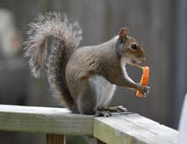 Snacking squirrel Stock Photos