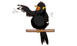 Snacksalig kullemynafågel Royaltyfri Fotografi