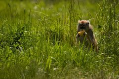 Snacktime. A Patas Monkey hides in tall grass and enjoys an afternoon snack in his exhibit at the zoo Stock Photo
