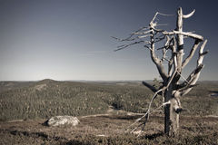 Snag. An old snag tree on top of Ruka in Finland Royalty Free Stock Images