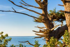 Snag Tree at the Oregon Coast Stock Images