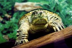 Snag amphibians turtle underwater Stock Photo