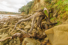 Snag on the beach. Horizontal photo, photo took in New Zealand, photo is usable on picture post card, calendar, gardening Stock Image