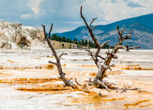 Snag at Mammoth Hot Springs in Yellowstone NP Stock Photo