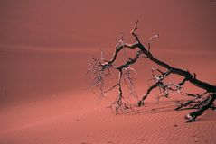 Snag, dune. Snag, on red duneSossusvleiNamibia, Africa Royalty Free Stock Images