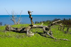 Snag on the seashore. Summer sea tree Stock Photography