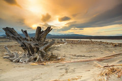 Snag on the shore. Tree trunk with roots lies on the bay at sunset Royalty Free Stock Images