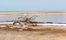 A snag on the sore of the Dead sea stock image