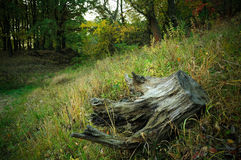 Snag. Stump with roots in the autumn forest Stock Photography