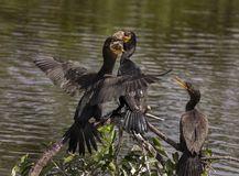 Double-crested Cormorants Fight for a Fishy Meal. After snagging a fish from the lake, a Double-crested Cormorant finds itself challenged for the meal as a royalty free stock photography