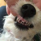 Snaggle-Zahn-Weißwelpe Stockbilder