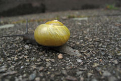 Snail. Leaving Royalty Free Stock Images