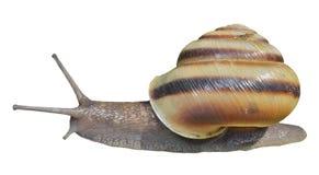 snail 7 Royaltyfria Bilder