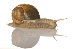 Snail. Isolated on white with mirror Stock Image