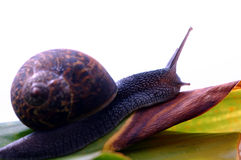 Snail. Arising Royalty Free Stock Photo