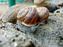 Snail. Large type several snails on stone Royalty Free Stock Photo