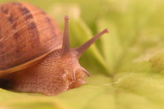 Snail. Close up of a garden snail on a green leaf Royalty Free Stock Photo