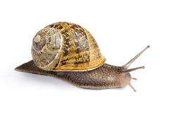 Snail. Perfect Snail Isolated on a white background Stock Photos