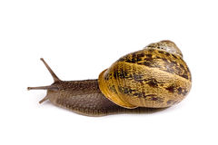 Snail. Perfect Snail Isolated on a white background Royalty Free Stock Photography