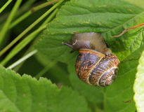 Snail. The snail creeping on a green leaf of a bush, close up Stock Photography