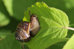 Snail. The snail creeping on a green leaf of a bush, close up Stock Photo