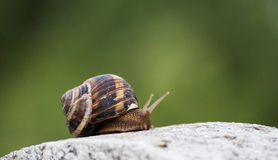Snail. Climbing snail on concrete ornament with green blurry background Royalty Free Stock Image