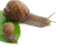 Snail. Snail Stock Images