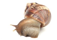 Snail. Isolated snail on white background royalty free stock photos