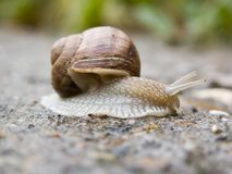 Snail. Domestic snail can be seen in every garden, especially after rain royalty free stock photos