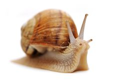 Free Snail Royalty Free Stock Photography - 14018717