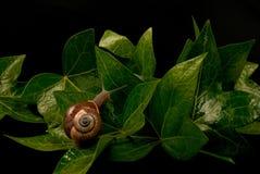 Snail. A snail enjoying a stroll along ivy leaves Stock Photography