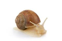 Snail. Royalty Free Stock Photos