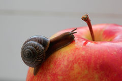 Snail. Photo of a snail with the short moustaches royalty free stock photography