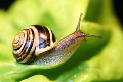 Free Snail Stock Photography - 145142