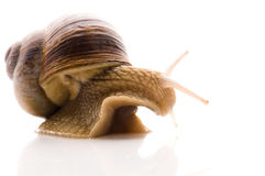 Snail. Animal isolated on the white background Stock Images